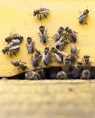 picture of honey-bee  - Honey bees are flying in and out of an yellow hive gathering pollen for honey. ** Note: Shallow depth of field - JPG