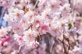 foto of ube  - Cherry blossoms or Sakura flowers in full bloom in spring - JPG