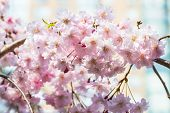 picture of ube  - Cherry blossoms or Sakura flowers in full bloom in spring - JPG
