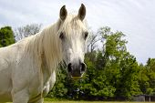 stock photo of arabian horse  - White Arabian horse looking at viewer with trees in background