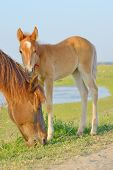 picture of foal  - Horse and Her Foal in a Green Field of Grass - JPG