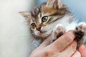 foto of snatch  - Cute kitten in the hands of woman - JPG