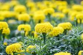 picture of marigold  - Marigold blossom in the garden in Thailand  - JPG