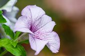 picture of petunia  - Abstract Petunia flower in the garden close up