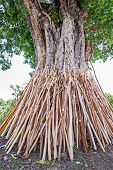 stock photo of crutch  - Crutches bodhi tree Tradition Thai in north of Thailand - JPG