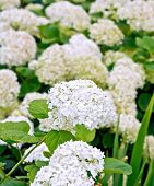 stock photo of hydrangea  - Fluffy white hydrangea blossoms against a background of green leaves
