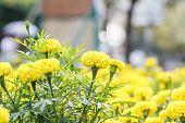 picture of marigold  - marigold flowers close up in garden Thailand - JPG