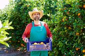 image of orange-tree  - Farmer man harvesting oranges in an orange tree field - JPG