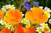 stock photo of poppy flower  - California poppy   - JPG