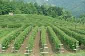 foto of serbia  - Rows of raspberry field from above in western Serbia  - JPG
