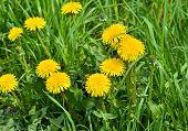 image of dandelion  - Dandelions in the meadow. Bright flowers dandelions on background of green meadows. ** Note: Shallow depth of field - JPG