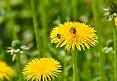 image of dandelion  - Dandelions in the meadow - JPG
