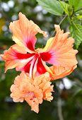 picture of hibiscus flower  - A Hibiscus rosa senensis