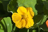 picture of nasturtium  - Nasturtium flowers  - JPG