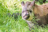 pic of tapir  - Young lowland tapir  - JPG