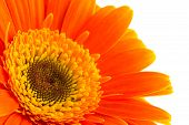 picture of gerbera daisy  - Orange gerbera daisy flower isolated on a white background - JPG