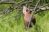 stock photo of lowlands  - Young lowland tapir  - JPG