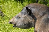 picture of tapir  - Portrait of a lowland tapir  - JPG