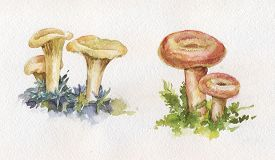 picture of chanterelle mushroom  - watercolor illustration with mushrooms - JPG