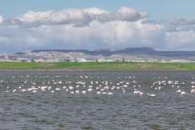 stock photo of larnaca  - Flamingos in Larnaca Salt Lake - Cyprus Island ** Note: Visible grain at 100%, best at smaller sizes - JPG