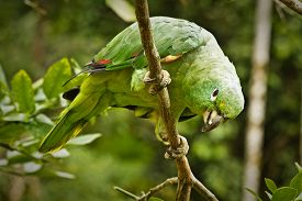 stock photo of rainforest  - Close up shot of green parrot in the amazon rainforest - JPG