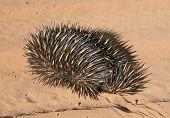 Porcupine (Echidna Aculeata)