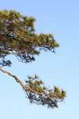 Small branch of pine.