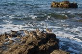 Wandering Tattler, Pacific coast birds