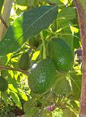 stock photo of avocado tree  - close - JPG