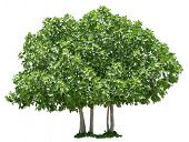 Fig tree isolated on white