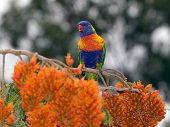 Rainbow Lorikeet #2