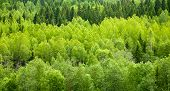 Dense mixed forest panoramic view