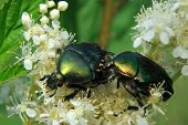 stock photo of meadowsweet  - Rose chafers  - JPG