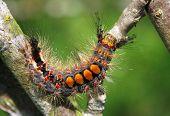 Rusty Tussock Moth