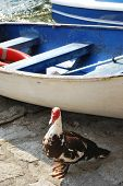 Duck And Boat, Orta Lake, Italy