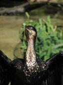 Cormorant Spread