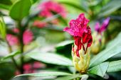 Rhododendron Ponticum, Common Rhododendron, Pontic Rhododendron. Red Flower Bud. poster