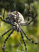 Argiope lobata spider