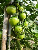 Tomates verdes crescendo