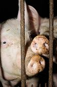 Two Pigs Behind Bars