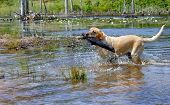 Blond Retriever Fetches