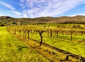 A typical early spring landscape with vineyards in the Grampians, Victoria