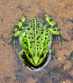 Green European frog in water