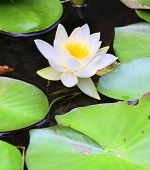 European White Waterlily, White Lotus, or Nenuphar (Nymphaea alba) It contains the active alkaloids
