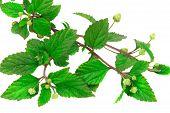Aztec Sweet Herb, A Sugar Substitute