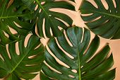 Monstera Leaves Being Aged And Dehydrated Over Time Changing - Aging Concept. poster