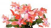 foto of schlumbergera  - Blooming Christmas Cactus  - JPG