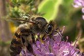 Bee Feeding (Apis Mellifera)