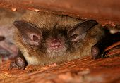 Little Brown Bat With Huge Ears