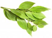 branch of laurel  bay leaves isolated on white